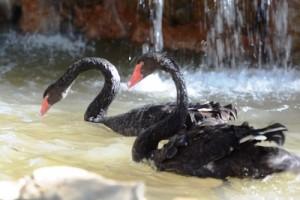 Dos Cisnes Negros en Acuario Mazatlán 2016