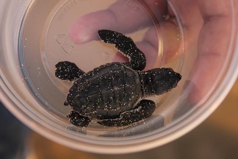 programa-anidacion-tortuga-marina-1