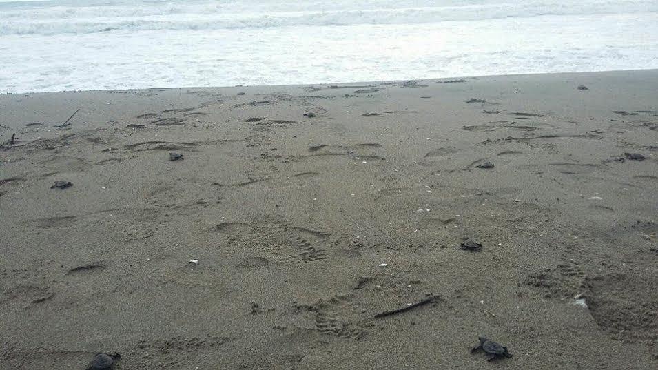 programa-anidacion-tortuga-marina-3