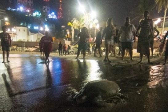 <center>Reptil marino urbano en bahía Olas Altas de Mazatlán Zona Trópico</center>